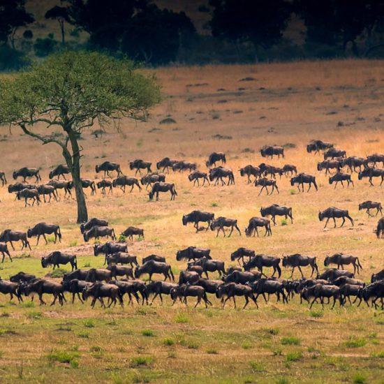 Tanzania voorbeeldreis - Migratie van de gnoes