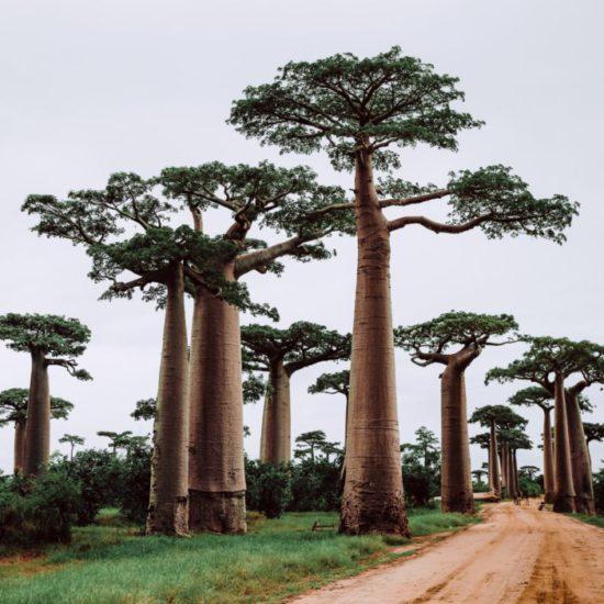 Madagascar voorbeeldreis I Baobabs